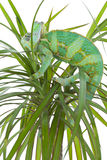Chameleon on a palm tree Stock Photography