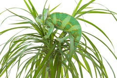 Chameleon on a palm tree Royalty Free Stock Photos
