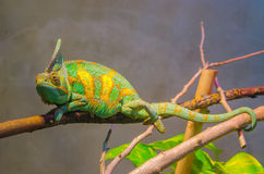 Chameleon. Panther chameleon on the branch Stock Photography