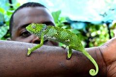 Chameleon in the Park Zanzibar. Little chameleon crawls on the hand of a master in one of the parks of Zanzibar stock photography
