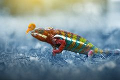 Chameleon phanter walking on the grass royalty free stock photo