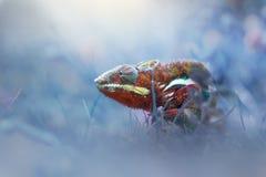 Chameleon phanter walking on the grass stock photo