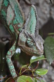 Chameleon. Photo of a chameleon in his terrarium Royalty Free Stock Image