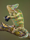 Chameleon photographer. A veiled chameleon is taking a photograph of a butterfly Stock Photography
