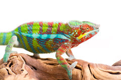 Chameleon. Picture of a chameleon on a white background royalty free stock image