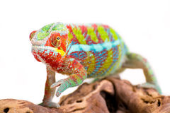 Chameleon. Picture of a chameleon on a white background Stock Photos