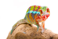 Chameleon. Picture of a chameleon on a white background royalty free stock images