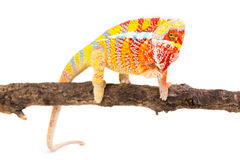 Chameleon. Picture of a chameleon on a white background Stock Images