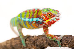 Chameleon. Picture of a chameleon on a white background stock image