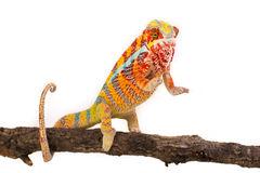 Chameleon. Picture of a chameleon on a white background royalty free stock photography
