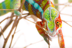 Chameleon. Picture of a chameleon on a white background Stock Photo
