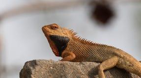 Chameleon pigro Fotografia Stock Libera da Diritti