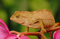 Chameleon on plant Royalty Free Stock Image