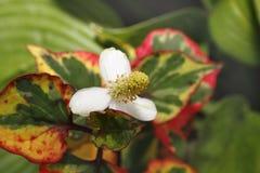 Chameleon Plant. In soil Stock Photography