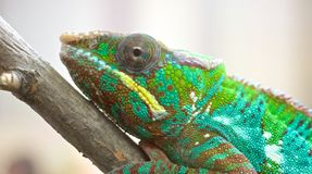 Chameleon Portrait 1 Royalty Free Stock Photo