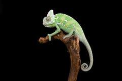 Chameleon pose on rod. Black background Stock Images