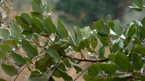 Chameleon rain Royalty Free Stock Photo