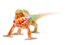Chameleon. Rainbow Chameleon on a white background Royalty Free Stock Image