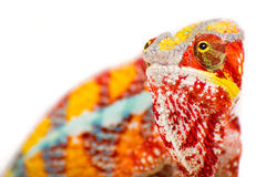 Chameleon. Rainbow Chameleon on a white background Royalty Free Stock Photography