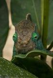 Chameleon in rainforest of Madagascar. Andasibe Reserve stock image