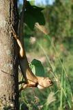The chameleon raise his head Stock Photography