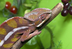Chameleon red Royalty Free Stock Photos