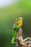 Chameleon with red head and green body Royalty Free Stock Photos