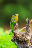 Chameleon with red and yellow head Stock Image