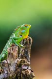 Chameleon with red and yellow head Royalty Free Stock Photography