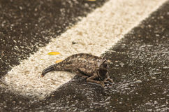 Chameleon. Relaxing. First rain after long summer Royalty Free Stock Photo