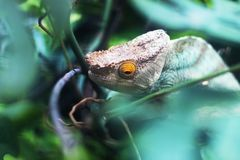Chameleon Reptile Head And Eye. Close up shot of a chameleon reptile head and eye with shallow depth of field royalty free stock image