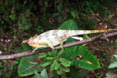 Chameleon reptile Stock Photo
