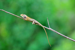 Chameleon resting. Asia chameleon resting on tiny branch green background Stock Image
