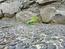 Chameleon on the rock stock photo