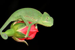 Chameleon and rose Stock Images