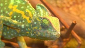 Chameleon rotates the eye. Portrait of a chameleon. Muzzle and body part close-up stock video footage
