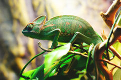 Chameleon. Is searching for food branch Stock Photography