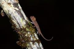 Chameleon selvaggio del bambino fotografia stock