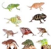 Chameleon set on white Stock Photography
