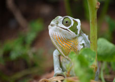 Chameleon. A chameleon shedding its skin.  Photo taken in my garden, Hillcrest, KZN, South Africa on 21 February 2015 Royalty Free Stock Image