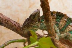 Chameleon sheds Stock Image