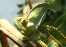 Chameleon side-view Royalty Free Stock Images