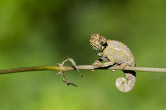 Chameleon. Sits on a branch royalty free stock photo
