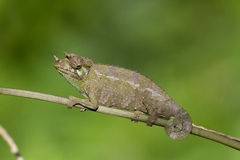 Chameleon. Sits on a branch royalty free stock photos
