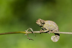 Chameleon. Sits on a branch stock image