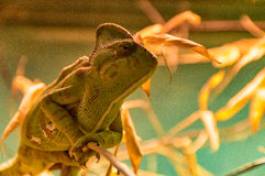 Chameleon sitting on a branch Royalty Free Stock Photos