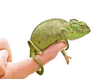 Chameleon sitting on a finger Stock Photo