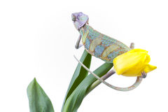 Chameleon sitting on a tulip Royalty Free Stock Photography