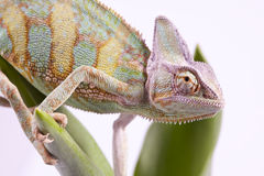 Chameleon sitting on a tulip Royalty Free Stock Photos