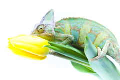 Chameleon sitting on a tulip Royalty Free Stock Images